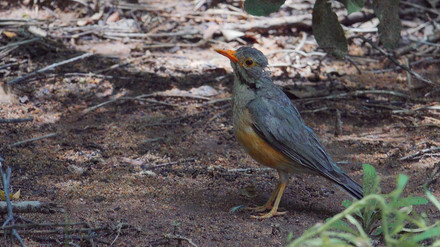 Thrush Red-billed