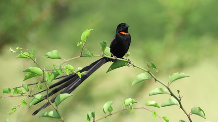 Widowbird Red-collared