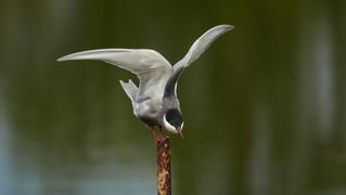 Tern Whiskered