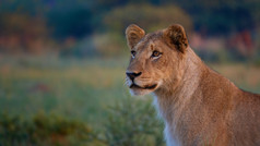 Young lioness|where is my food|Watchful