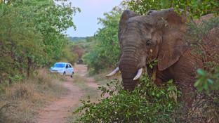 Bull elephant dinokeng