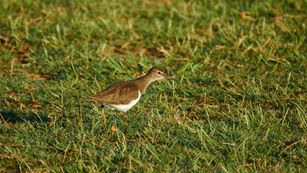 Sandpiper Common