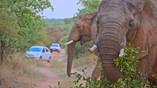 Elephants near Pretoria|wild elephants|