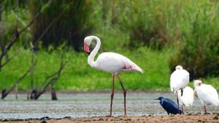 Flamingo Greater.JPG