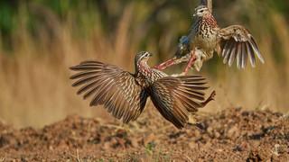 Fighting birds francolins