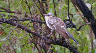 Cuckoo Great Spotted.jpg