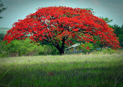 AJUST-21_01_14-O-Flamboyant-é-uma-árvore-de-origem-Africana-considerada-uma-das-mais-belas-do-mund