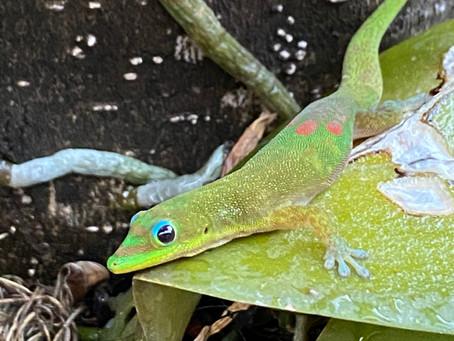 Gecko Days