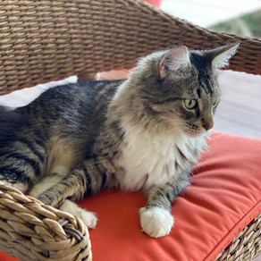 Covid-19 Quarantine, by Boomer (the cat) with Nicole Nissen Hooper, Ghostwriter.