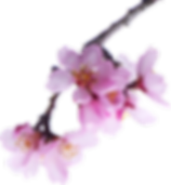 almond-tree-2063659_1920_edited.png