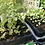 30 pot natural rubber seed tray in use growing seedlings