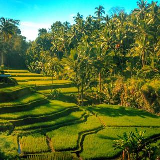Tegalalang Rice Terrace Ubud.JPG