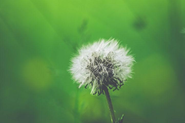 dandelion for intro.jpg