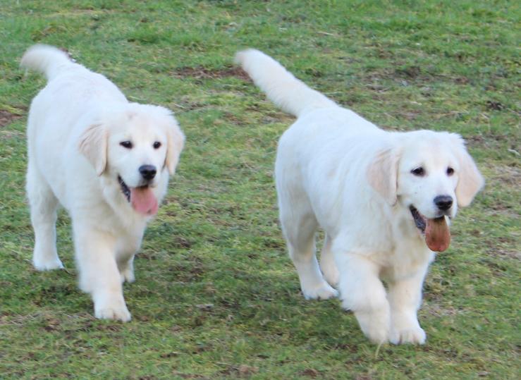 Golden Retriever Puppy Pair