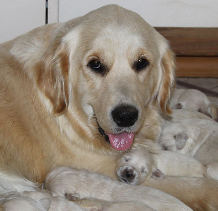 Golden Retriever dam with puppies