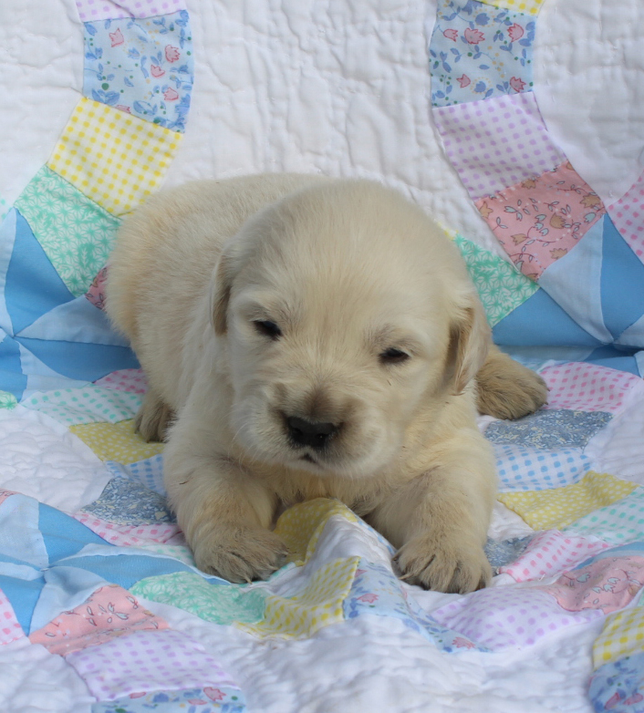 Golden Retriever young puppy 2