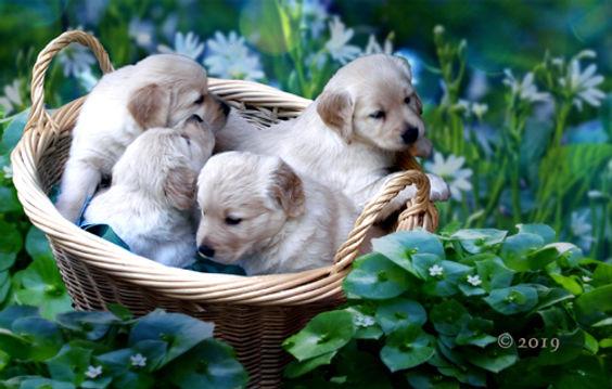 Puppies in Daisy Field.jpg