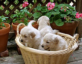 puppies in a basket~~.jpg