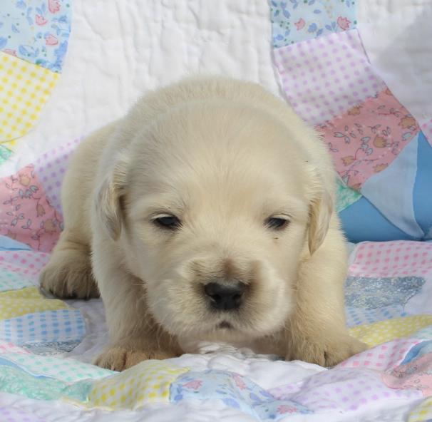 Golden Retriever young puppy 1