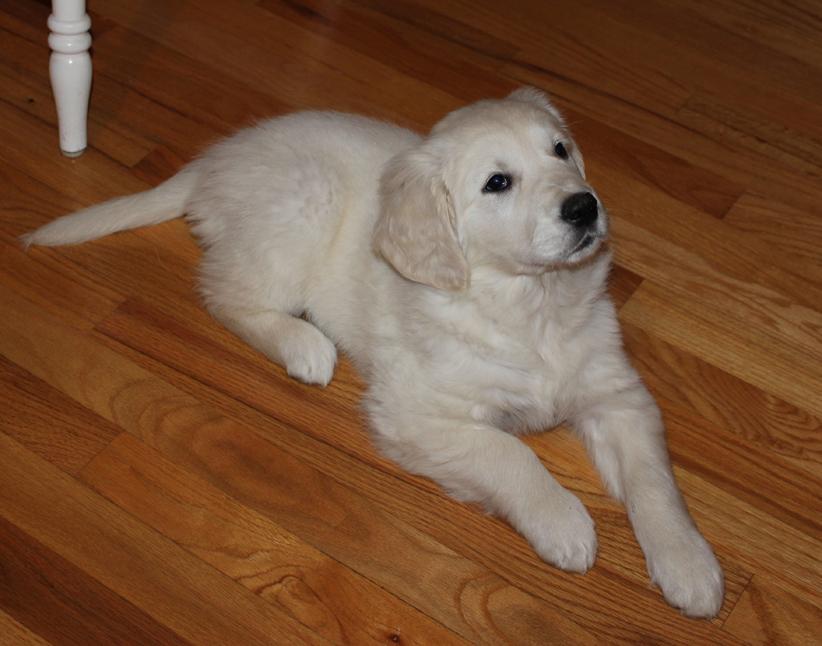 Golden Retriever puppy Sweet