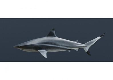 High Speed Shark