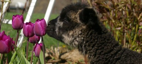 Black Cotswold lamb with tulip
