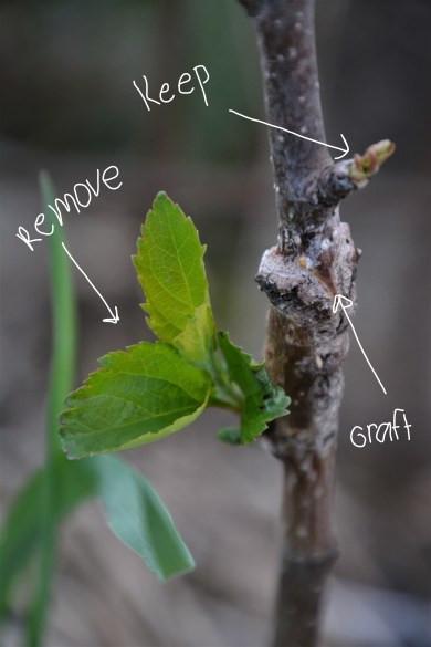 graft with leaves growing below graft