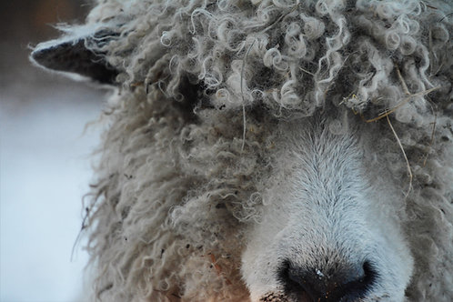 Sponsor a Sheep   Calliope