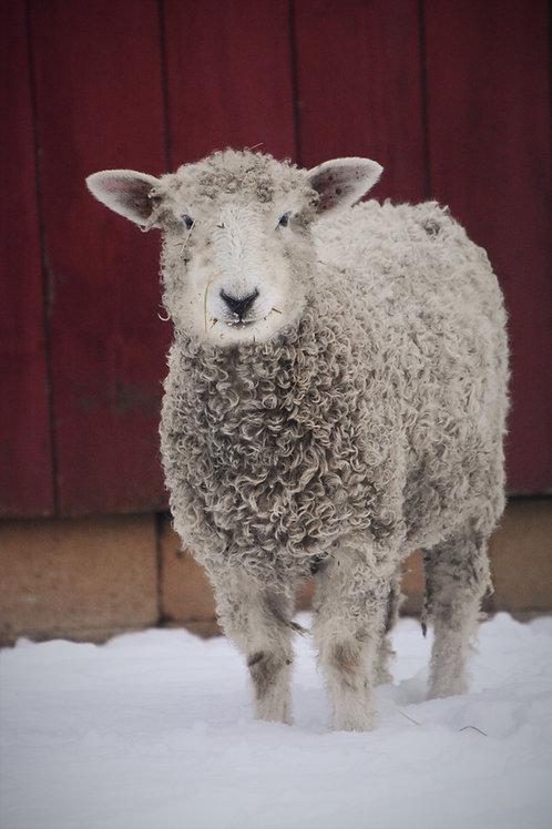 Adopt a Sheep | Snow Pea