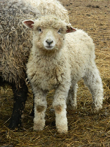 White Cotswold lamb with curly fleece