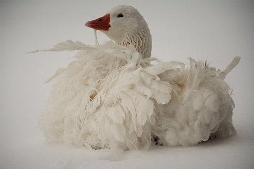 Sponsor a Goose | Mr. Goose