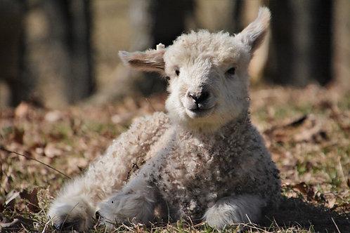 Spring Lamb     Thistle
