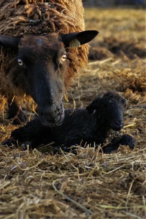 newborn lamb with mom