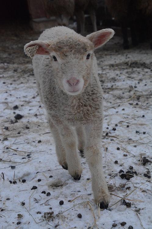 Adopt a Sheep   Marshmallow