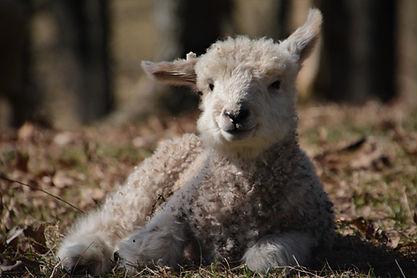 Cotswold lamb   Cotswold Sheep