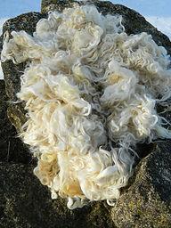 lustrous cotswold curls of wool fiber