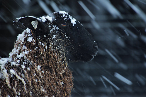 Winter Sheep Photo | Hershey