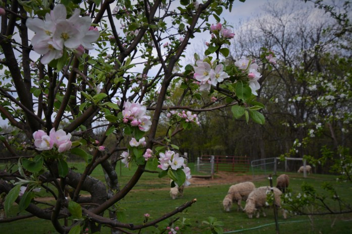 apple tree blossom with sheep