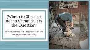 Shearing — Sheep de-wooled!