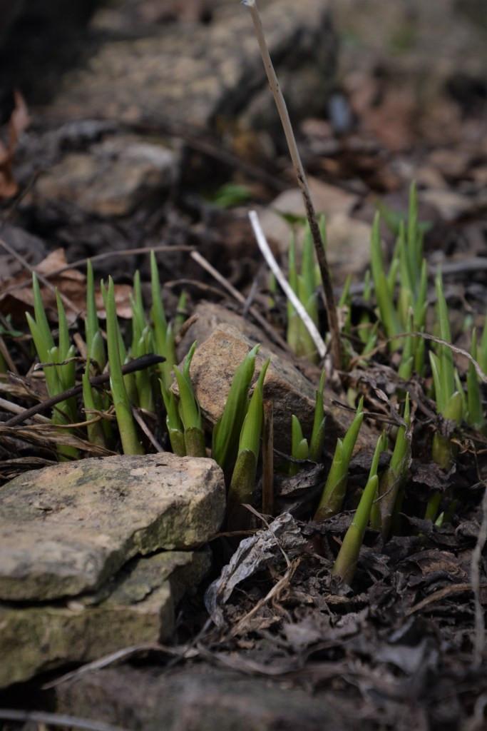 spring hosta