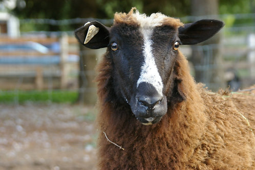 Adopt a Sheep | Annie