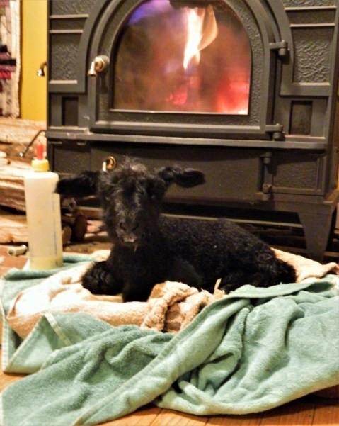 lamb by wood stove