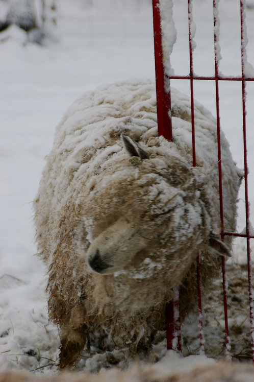 Adopt a Sheep | Molly