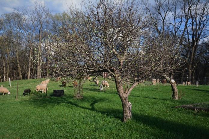 fruit tree and sheep