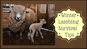 Winter Lambing Survival Tips