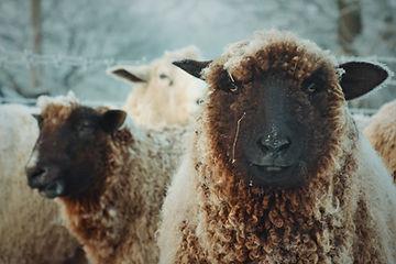 Beautiful brown spinning wool sheep