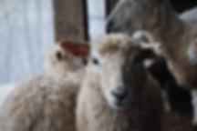 Spinning Fiber Lamb | Wool Fiber Lamb