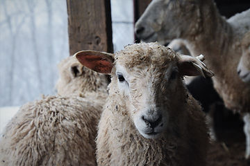 Spinning Fiber Lamb   Wool Fiber Lamb
