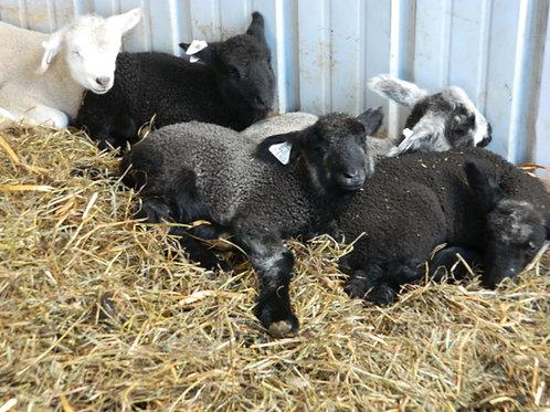 Adopt a Sheep | Choose a Spring Lamb