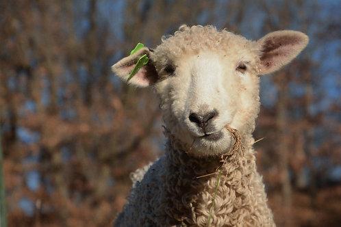 Adopt a Sheep | Rosie